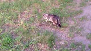 Охота кошки на храбрую мышку!