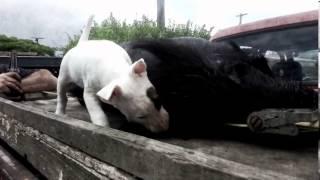 Attack! English Bull Terrier Pup & Wild Boar