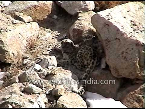Snow Leopard - a native to the mountain ranges of Central and South Asia