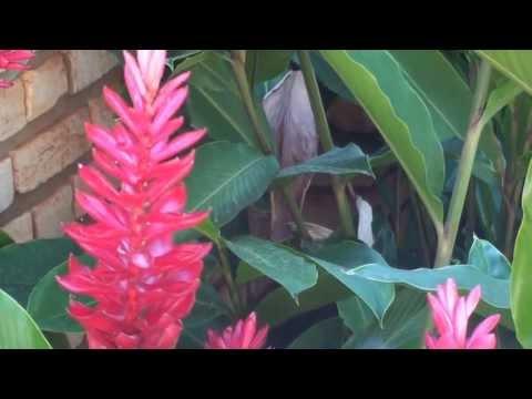Como fazer mudas,  Alpínia purpurata, Gengibre-vermelho, jardinagem, flores ornamentais,