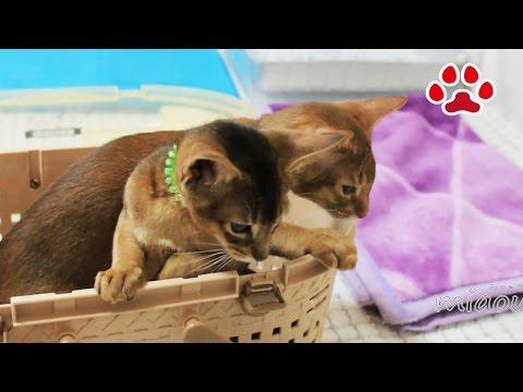 仔猫部屋にアビシニアン兄弟がやってきた【瀬戸の猫部屋日記】Abyssinian brother's came to the kitten's room