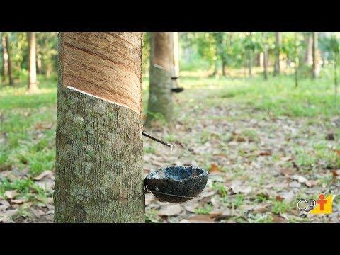 Curso a Distância Cultivo de Seringueira para Produção de Borracha Natural