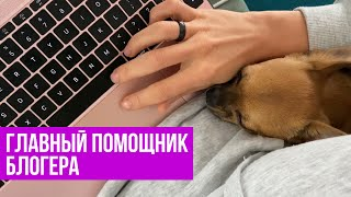 Chihuahua Amy / Чихуахуа Эми помогает монтировать видео #amydog