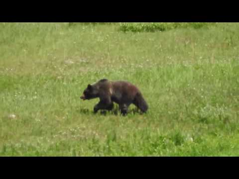 Banff   Lake Louise Resort Bear   Jul 4 2017