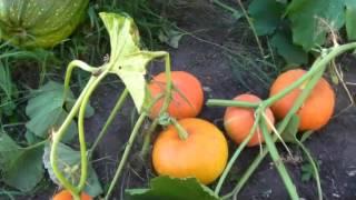 видео Тыква | Калининские сады