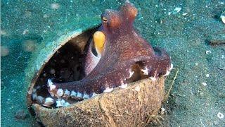 Cette pieuvre donne envie de rire ! - ZAPPING SAUVAGE