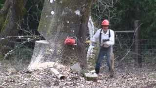 Falling Big Oak Tree with Chain Saw & Crosscut Saw