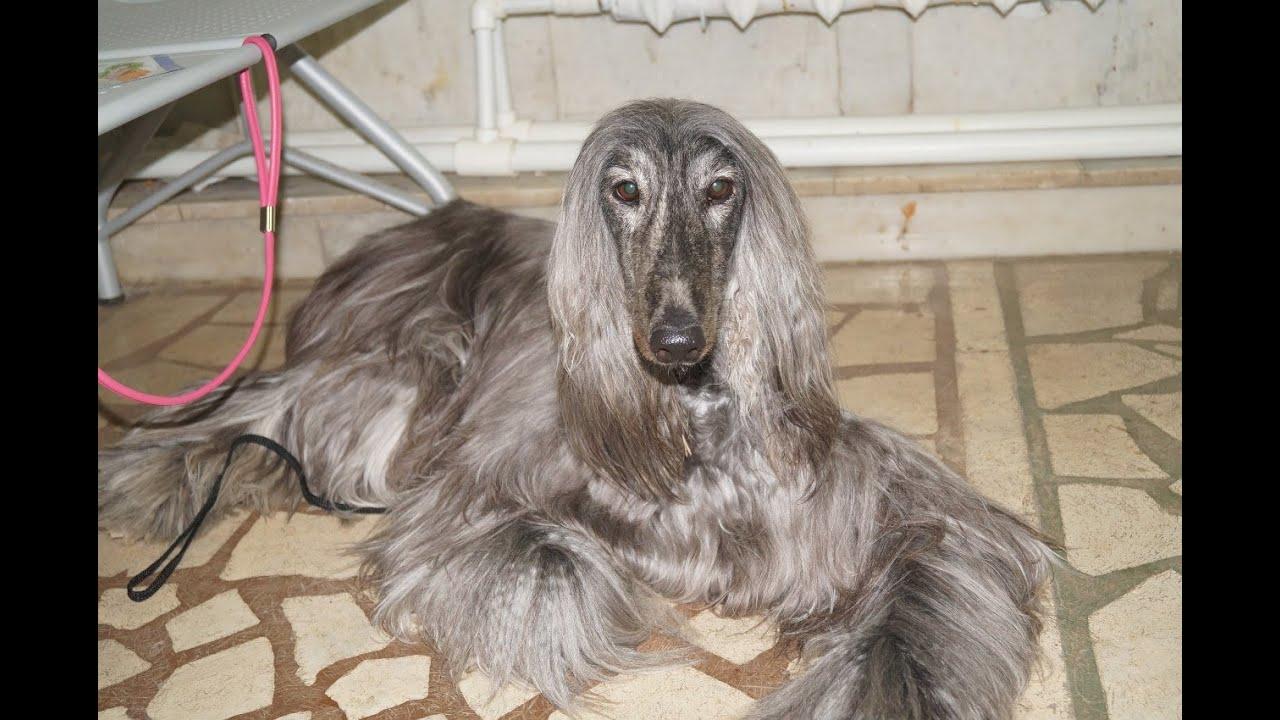 Порода собак. Афганская борзая.Одна из самых красивых пород в мире