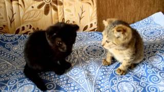 Вислоухие котята в добрые руки!