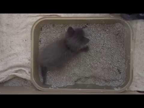 Вопрос: Как приучить котенка к лотку?