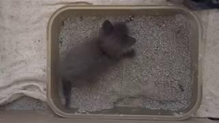 Как приучить котят к лотку.