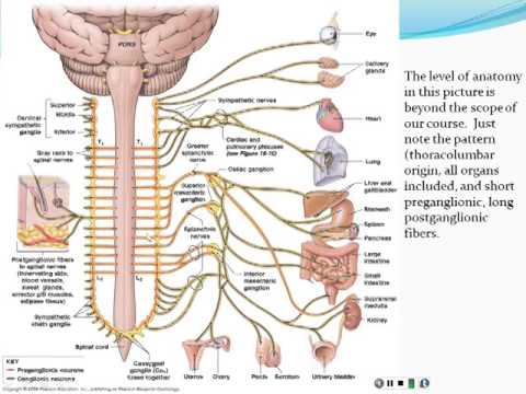 Chapter 14 Autonomic Nervous System Part 1 Youtube