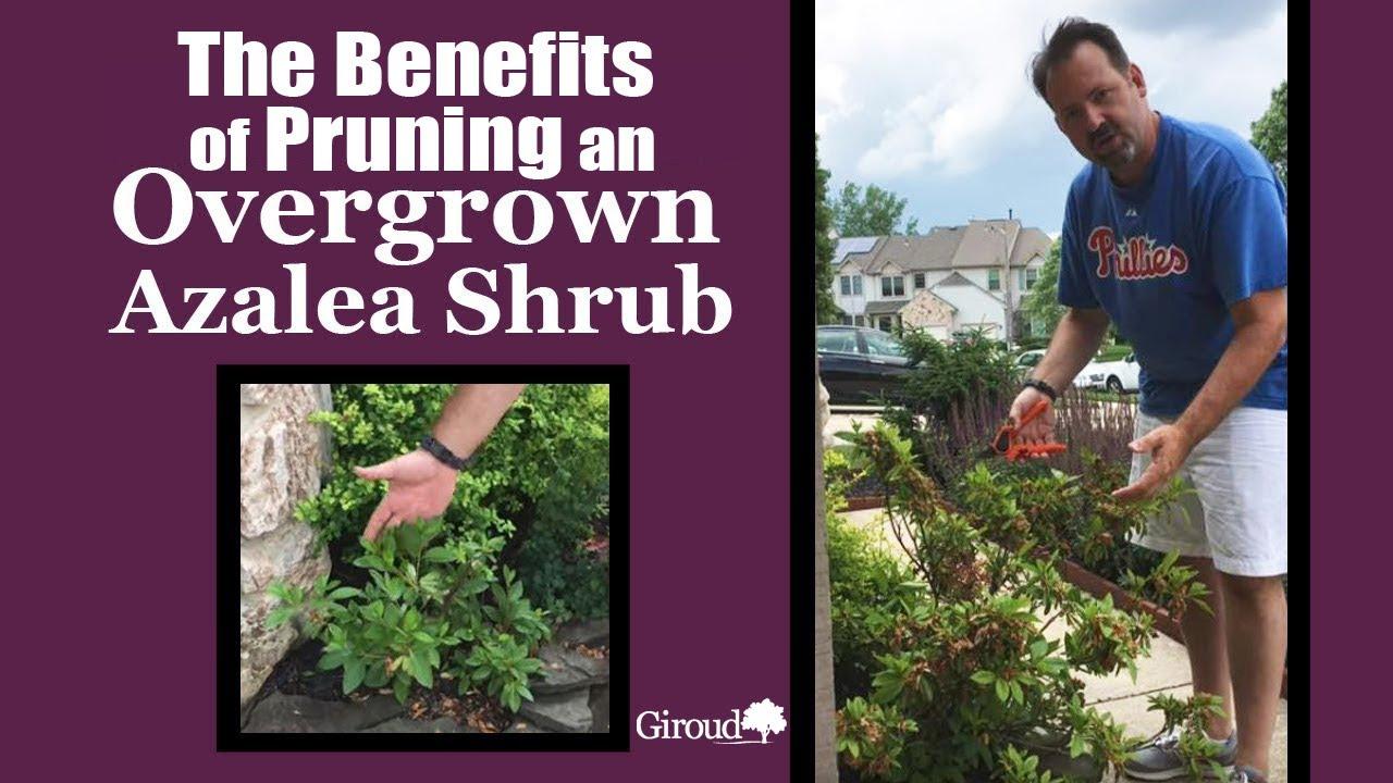 How To Prune An Overgrown Azalea Shrub Youtube