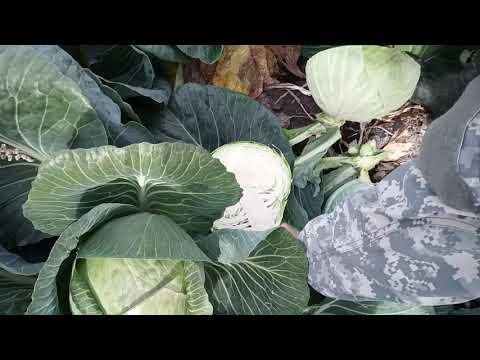 Обзор поздней капусты на закладку ,сорт Арривист