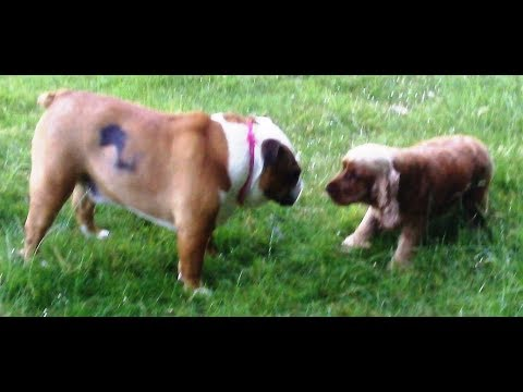 English Bulldog Stan & Cocker Spaniel Willow mooching.
