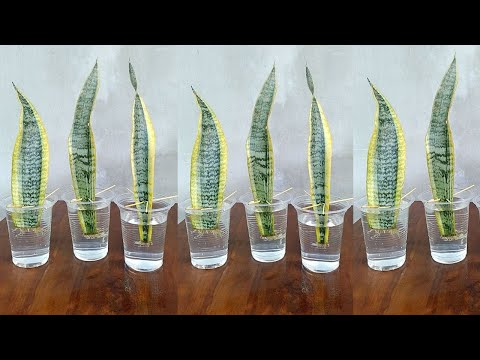 Snake Plant Propagation by Leaf Cuttings in Water