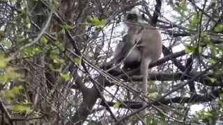 Sathyamangalam Wildlife Sanctuary Videos - Langur Monkey