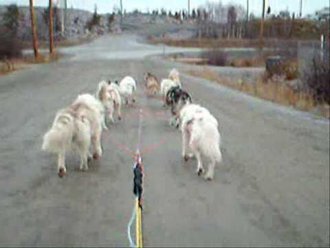 fall-training,-canadian-eskimo-dogs