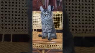 1865 Черный тигровый котенок Мейн Кун