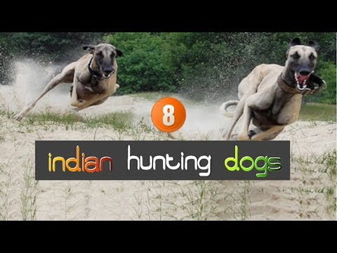 The hunting dogs of India.