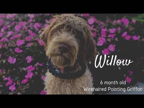 Willow | 6 Month Old Wirehaired Pointing Griffon | Obedience Training | Distraction Training