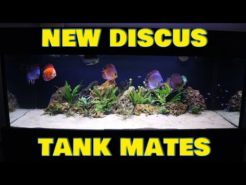 Adding 50 new Discus tankmates - and a rant!