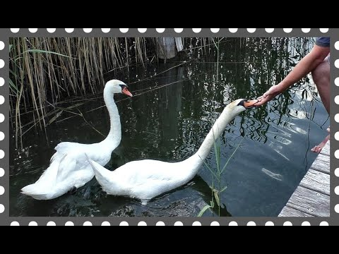 White swans eat out of hands. Interesting footage and commentaries