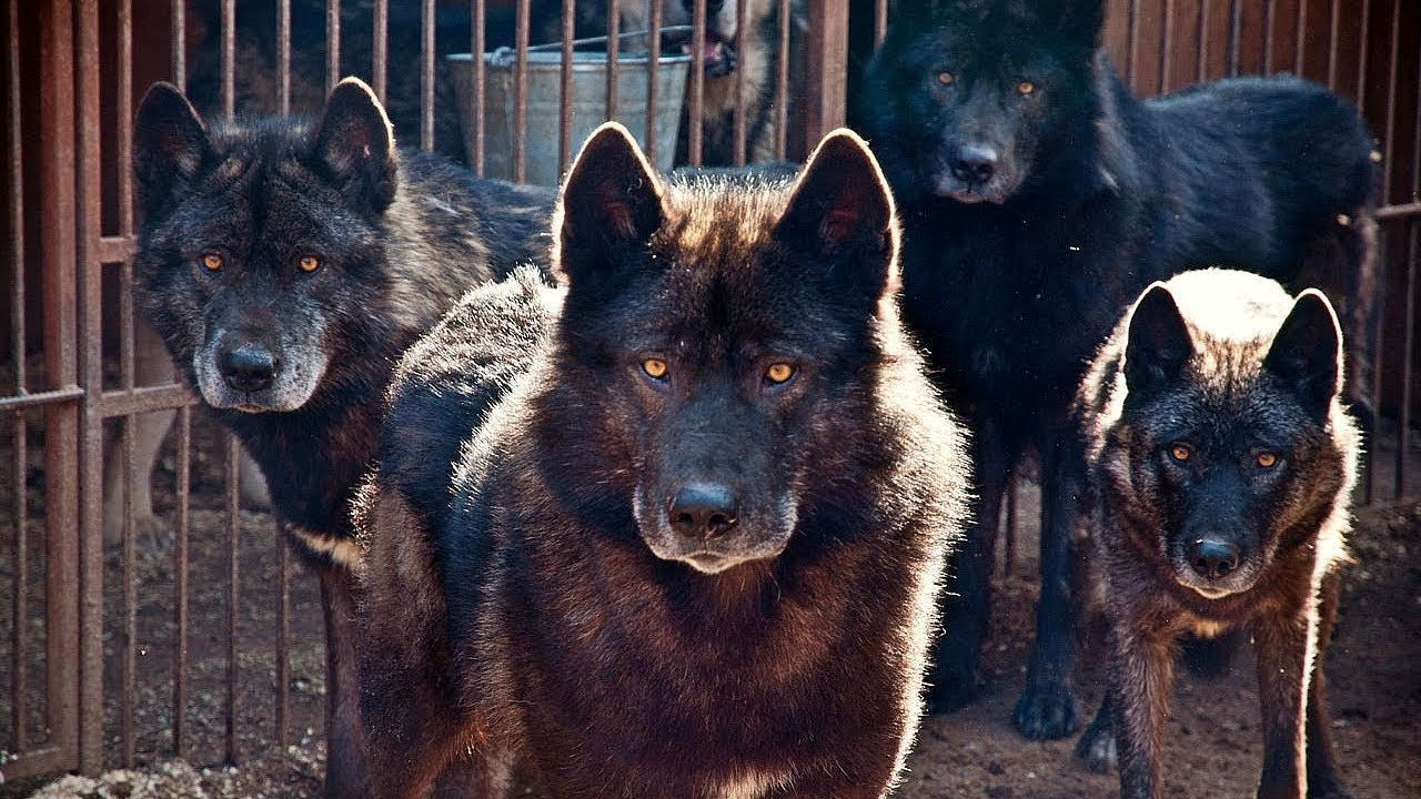 Dog Like Wolf For Sale