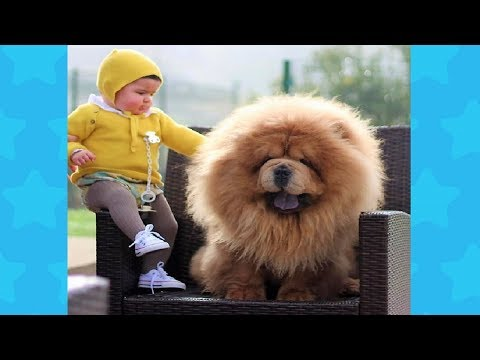 Chow chow Dog brings happiness to Baby Cute Compilation