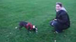 Maya, Robby And Wang Cai (boston Terrier Playdate)