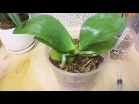 Почему орхидея сбрасывает цветы? Как обеспечить растению