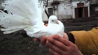 Выставка г. Конотоп 21.11.2015 - голуби породы Павлин
