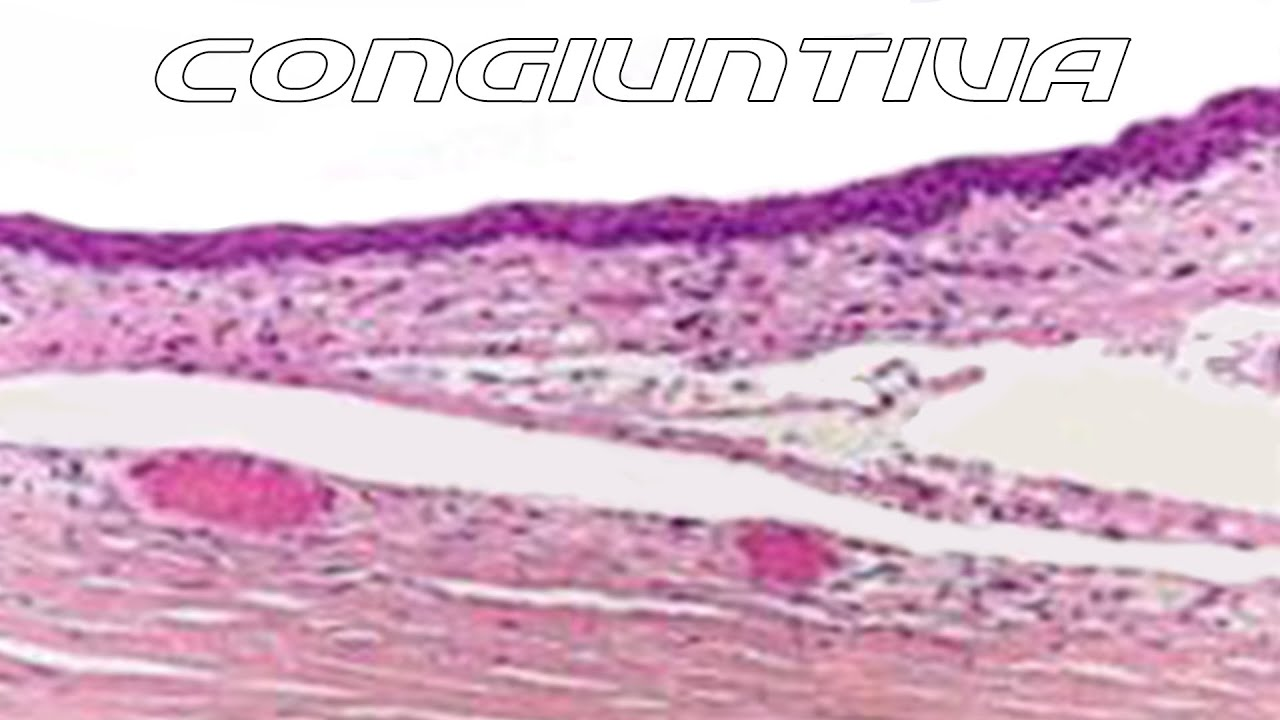 Conjunctiva [ Sub - ENG ] - Anatomy and Histology part 1 - YouTube