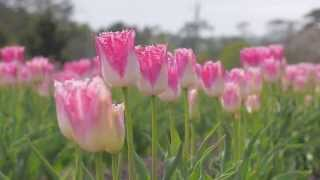 Tulip Park of Yubetsu town ~北海道・上湧別町のチューリップ公園~