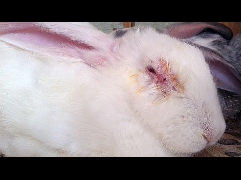 Миксоматоз у кроликов – лечение, симптомы, вакцинация.