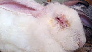видео Как лечить кроличий насморк