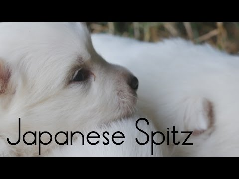 Japanese Spitz puppies nap on the grass