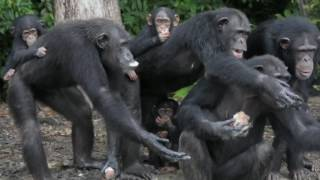Video: Race to save abandoned chimps of 'Monkey Island'