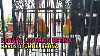 Kenapa Lovebird Betina Harus Di Untul Betina