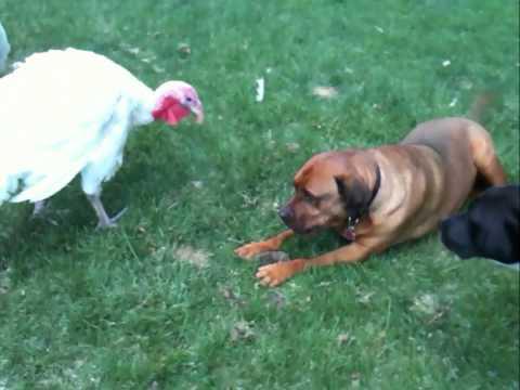 Won't Back Down Turkey vs. Dog