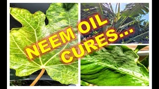 NEEM OIL | Citrus Leaf Curl (Miners), Banana Diseases, Fig Mosaic  +  Cool Oily Plants w/ IV Organic