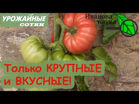 ВСЕГДА делаю ТАК для ВКУСНЫХ и КРУПНЫХ томатов!