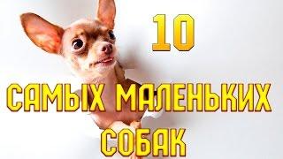 10 самых маленьких собак(, 2015-08-19T08:45:11.000Z)