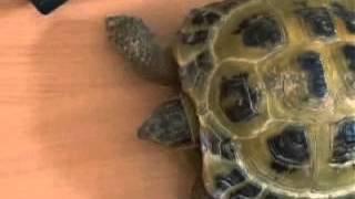 Прикол Самая быстрая черепаха в мире шоковое видео