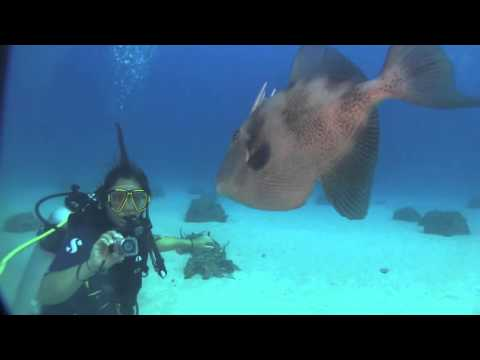 Triggerfish attacks camera and diver !!! on Carib Cargo in Sint Maarten...