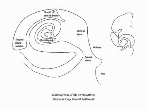 Hippocampus - Draw it to Know it - Neuroanatomy Tutorial