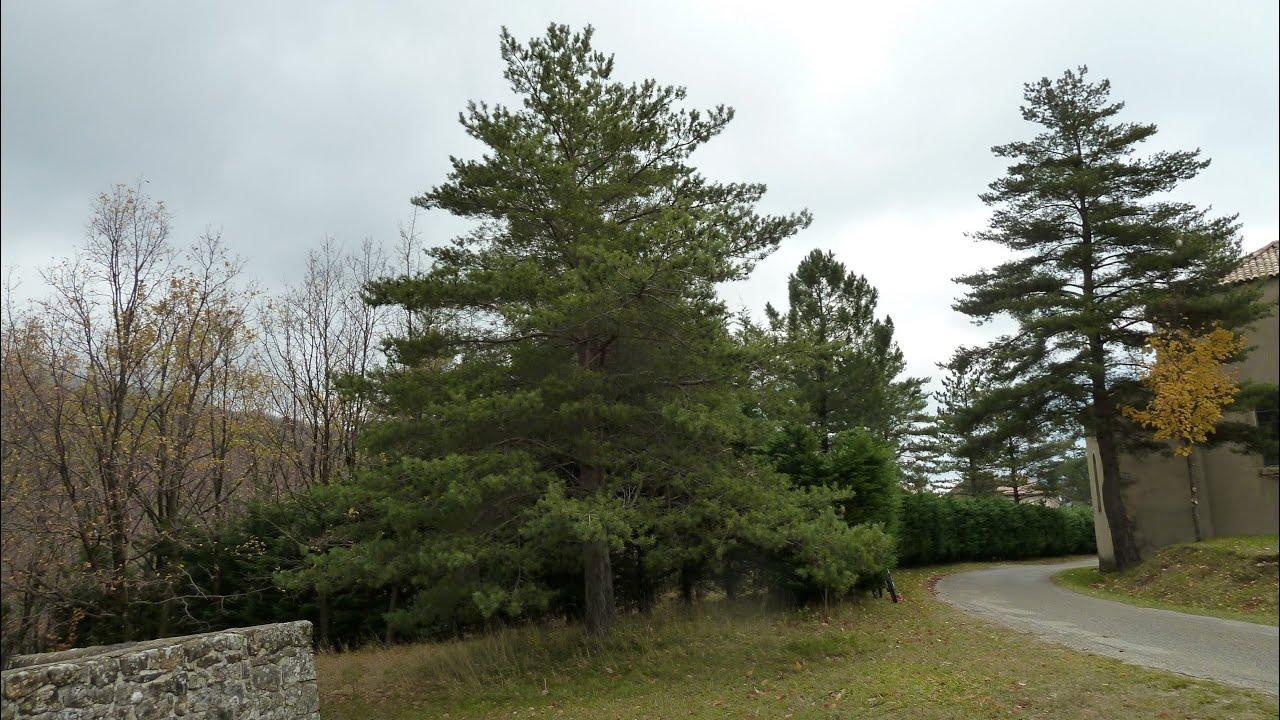 un arbre original le pin sylvestre youtube. Black Bedroom Furniture Sets. Home Design Ideas