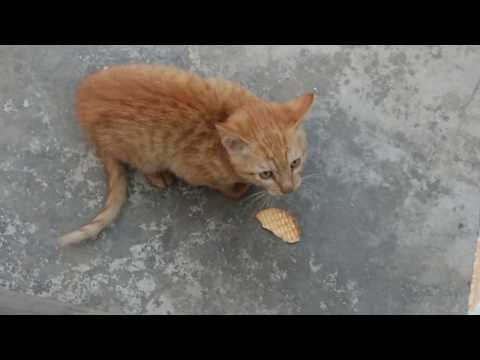 Cute Baby Cat Eating Biscuits - Light Brown Kitten