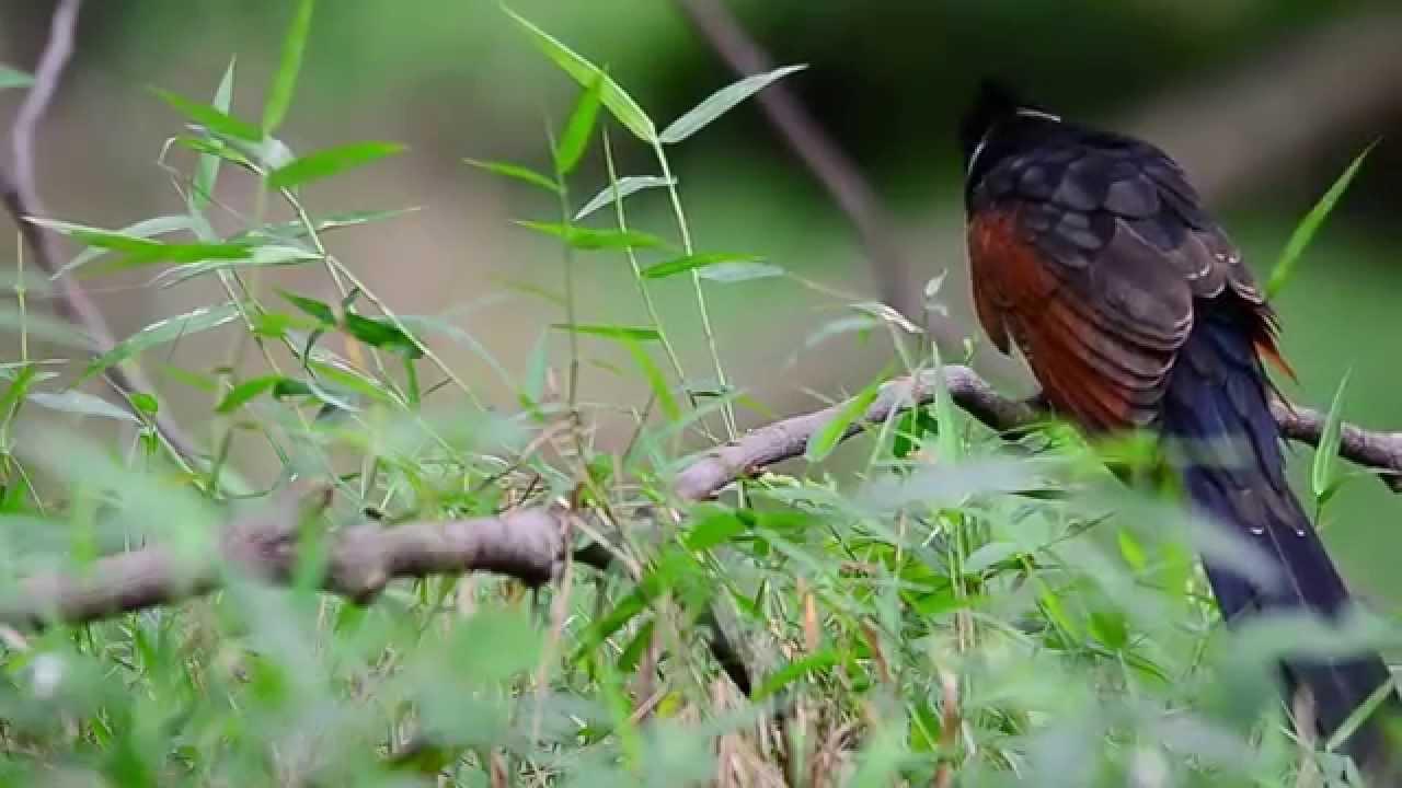 Bubut Pacar Jambul Burung Mohawk Pendatang Dari Negeri Seberang By Manuk Alas Channel