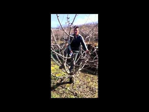 La poda del cerezo youtube - Poda del cerezo joven ...